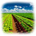 Какие культурные растения выращивают в удмуртии?